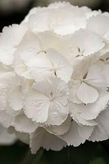 33599 (Clive Nichols) Tags: snowball hydrangea shrub hortensia mophead macrophylla hortensis clivenichols flickrhydrangeas