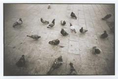 Pigeons - the reprint (Roadmouse) Tags: paris sepia 35mm pigeons toned silvergelatin rcpaper adox darkroomprint fomapan400 wetdarkroom durst606 adoluxaph09 adoxvarioclassicrcmatt agfaneutolliquidne amalocot10sepiton amalocot10