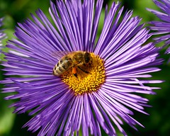 A honey bee working on a China Aster. (Bienenwabe) Tags: flower macro insect bee honeybee asteraceae aster chinensis honigbiene herbstaster supershot platinumphoto flickrdiamond chinaaster sommeraster mygearandmepremium apismeliferae 2callistephus