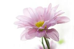 [フリー画像] [花/フラワー] [ヒナギク/デイジー ] [ピンク/花]        [フリー素材]
