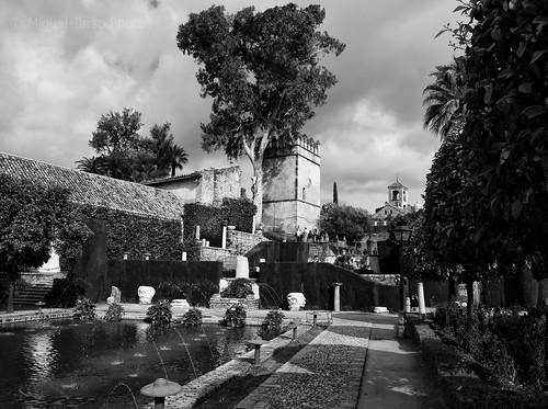 El eucalipto del Alcázar