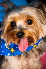 Brownie's Portrait (Worldcita) Tags: pets dogs animals brownie perros yorkshireterrier mascotas