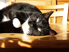 Hi there, this is very nice (Cajaflez) Tags: pet cute cat kat chat tuxedo katze cortez gatto huisdier gatti kater sunning zonnen