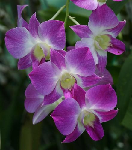 Dendrobium Memoria Kathleen Ford