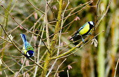 A Bird in the Bush is Worth Two In the....Tree (Chris H#) Tags: blue winter cold tree green birds yellow tits northamptonshire twigs s3000 feathered catkins greattits sywellcountrypark nikond5000 colouronanotherwisegreyday abirdinthebushisworthtwointhetree apairofgreattits
