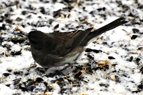 dark eyed junco snow