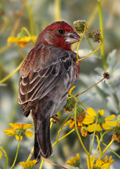 More House Finch (jhaskellus) Tags: arizona male bird phoenix garden botanical desert finch botanicalgarden housefinch desertbotanicalgarden wonderfulworld coth malehousefinch supershot jhaskellus jhaskell jackhaskell