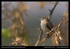 Indian Silverbill (M V Shreeram) Tags: india bird nature birds canon wildlife bangalore aves ave karnataka avifauna estrildidae indiansilverbill 300mmf4is 40d euodicemalabarica