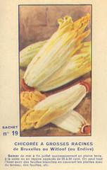 legume19 chicoree