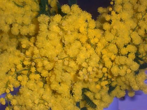 Mimosa close-up.