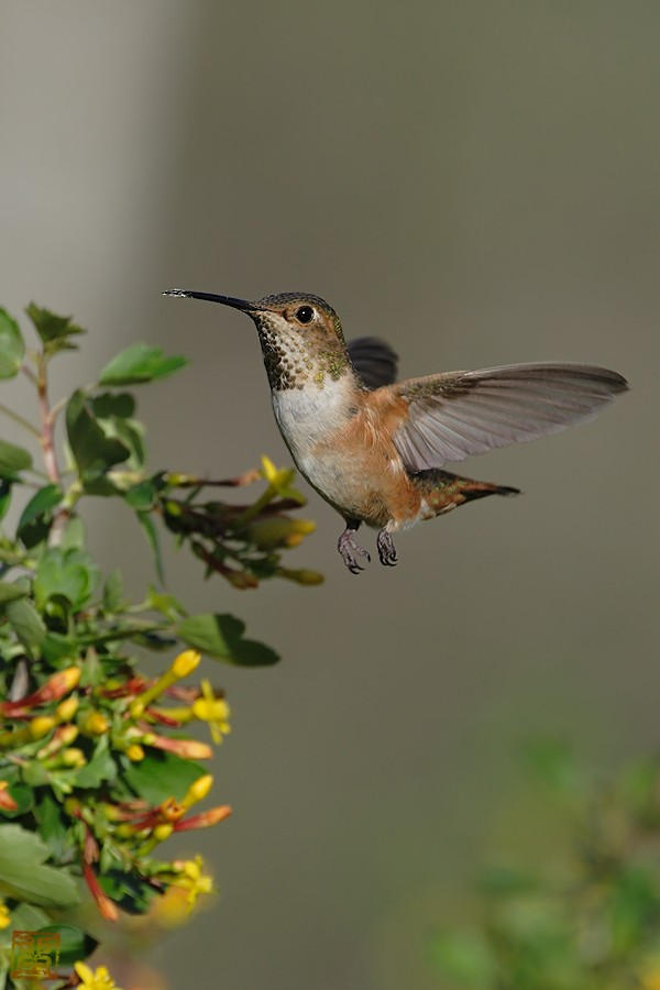 Allen's Hummingbird 02101-113