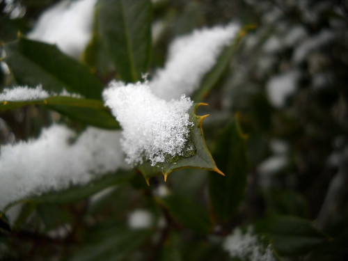 Powdery snow settles for a rest on tree leaves.