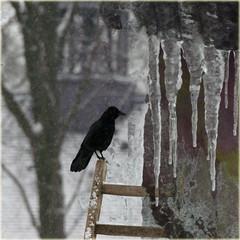 Winter (Tedje51) Tags: winter cold legacy icicles challenge winterlude tistheseason jackdaw kauw ijspegels theunforgettablepictures sharingart awardtree graphicmaster miasbest daarklands flickrvault trolledproud