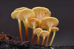 Fuzzy Foot (Xeromphalina campanella) (Ron Wolf) Tags: california macro nature mushroom fungi fungus santacruzmountains tricholomataceae portolaredwoods xeromphalinacampanella ypoq