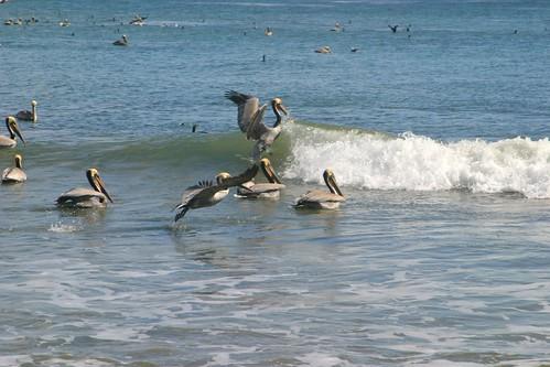 pelicans 036