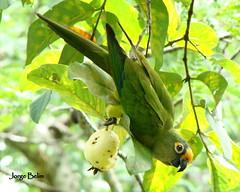 periquito-rei ( Aratinga aurea ) (1) (Jorge Belim) Tags: fauna pássaro ave preferida periquitorei bípede