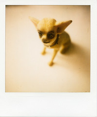 (princejaffa) Tags: dog chihuahua london polaroid sx70 february 2010 600film epsonv700 ndpackfilter