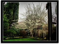 Thru My Kitchen Window (scrapping61) Tags: california blossoms gilroy mygarden legacy soe tqm netart plumtree 2010 tmba bej topseven anawesomeshot citrit theunforgettablepictures scrapping61 bestgallery miasbest daarklands finestimages flickrvault trolledproud crazygeniuses daarklandsexcellence exoticimage heavensshots hsexcellence