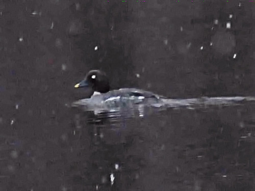 Common Goldeneye female