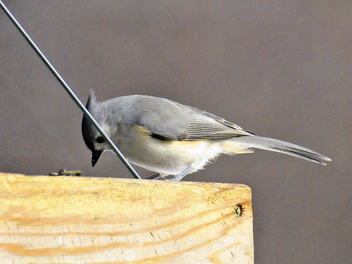 perfect titmouse