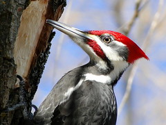 He's So Fine (flipkeat) Tags: wild portrait detail male bird nature birds animals closeup woodpecker wildlife awesome birding large mississauga incredible birdwatching dryocopuspileatus woodywoodpecker pileated woodie dryocopus pileatus dschx1