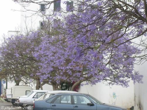 Palisanderholzbaum  Palisanderholzbaum / Jacaranda mimosifolia - a photo on Flickriver