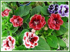 Sinningia speciosa (Florist's Gloxinia, Brazalian Gloxinia), double flowers in various colours