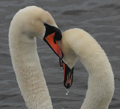 The Look of Love (alison brown 35) Tags: uk winter wild brown white bird nature water pen photography mirror march swan wildlife feather swans ritual alison cob 35 mute southport 2010 birdwatcher merseyside cygnusolor 80400mm courtship rspb marshside