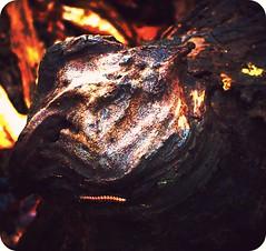 Brindle Pit BullDog... (Chipmunk Hill Arts) Tags: abstract nature stump brindle picnik katiewolfe pitbulldog