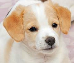 Puppy (RuudMorijn) Tags: old portrait dog pet brown white cute eye beautiful beauty animal animals closeup pose hair puppy fur mammal nose happy one stuffed eyes furry friend funny soft alone sitting looking close view little sweet head expression background small young adorable ears front indoors domestic seven cuddly attractive doggy pup lovely charming breed weeks lying diva playful boerenfox theunforgettablepictures