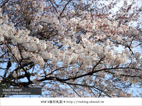 【via關西賞櫻行】京都賞櫻景點~哲學之道14