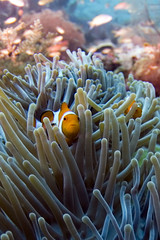 2 clownfish (kozyndan) Tags: fish coral indonesia kri underwater dive scuba diving clownfish anemone reef westpapua rajaampat