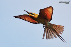 Blue Tailed Bee-Eater (Sir Mart Outdoorgraphy) Tags: birds magazine education nikon photographer bokeh outdoor birding best malaysia penang indah birdwatching birder butterworth birdisland byram unik nikonian d90 migratorybirds bluetailedbeeeater bairam menarik nikonuser nibongtebal jurugambar penangflickr sigma150500 pulauburung sirmart outdoorgraphy penangflickrgroup pulauburong
