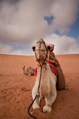 Camel - Wahiba Sands (ania115) Tags: sand desert middleeast camel arab arabia oman wahiba wahibasands lpdesert arabianpeninsula sharqiyasands lprelaxing