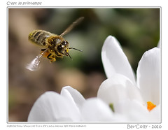 C'est le printemps (BerColly) Tags: france macro flying google flickr crocus bee vol abeilles flore faune nikkor105macro flickrdiamond photoshopcreativo bercolly absolutelyperrrfect