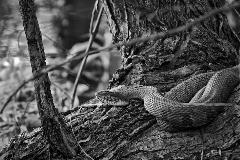 Diamond snake