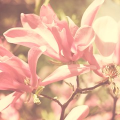 Easter Day (KimFearheiley) Tags: pink easter magnolia milkandhoney florabella