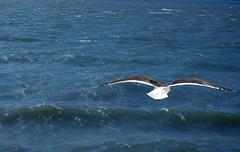 Gaviota #2 (aesc_shots) Tags: trip viaje blue white blanco portugal azul waves lisboa lisbon seagull belem tejo tajo olas gaviota aescshots