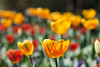 Spring is upon us (San Diego Shooter) Tags: flowers wallpaper flower cool tulips sandiego tulip uncool desktopwallpaper cool2 cool3 uncool2 uncool3 uncool4 uncool5 uncool6 uncool7 thepinnaclehof sandiegodesktopwallpaper tphofweek40