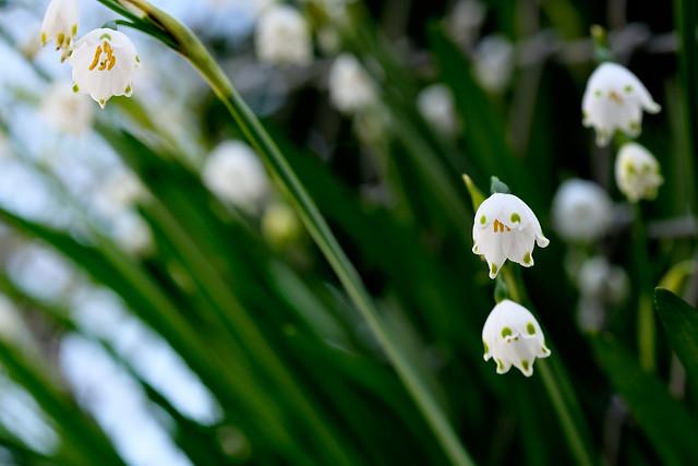 すずらんの花言葉は季節ごとに違う?すずらんの花言葉と由来