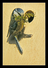 Work in Progress (Scippy) Tags: uk england building bird nature moss spring construction hole nest workinprogress hardwork bluetit paruscaeruleus nesting nestbox gardenbird housebuilder
