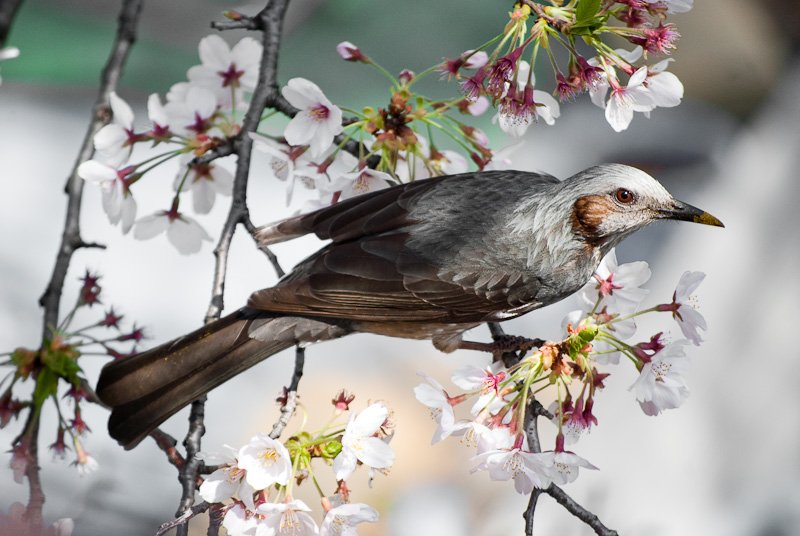 bird in sakura_8202