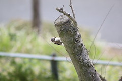 コゲラ / Japanese Pygmy Woodpecker