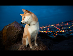 Touch the Sky - 14/52 (kaoni701) Tags: sanfrancisco city portrait dog mountain cute skyline night puppy landscape japanese market dusk peak fox 1750 wireless doggy bluehour redrock suki shibainu shiba tamron vc regal week14 coronaheights cls shibaken 柴犬 ezy strobist sb900 52weeksfordogs