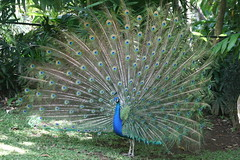"02 09_ CR_ Zoo Ave_ peacock glory • <a style=""font-size:0.8em;"" href=""http://www.flickr.com/photos/30765416@N06/4520880138/"" target=""_blank"">View on Flickr</a>"