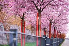 # (Manuela Hoffmann) Tags: berlin spring aperture pixelgraphix blossoms prenzlauerberg blüte 2875mm tamron2875mmf28 40d frühling