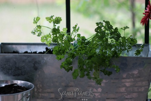 Parsley is overflowing
