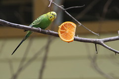 "Parakeet_ i love oranges • <a style=""font-size:0.8em;"" href=""http://www.flickr.com/photos/30765416@N06/4529243712/"" target=""_blank"">View on Flickr</a>"