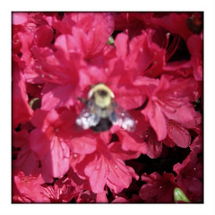 Busy Bumble Bee on Pink Azaleas 1, look at my wings #1 (aeleazer1(Busy,Off/On)!!!) Tags: camera pink light red sun white black color green art nature colors mobile upload bug insect blog dc washington interestingness interesting day sitting azaleas random bokeh picture bee bumblebee explore dcist daytime azalea helga effect tagging catchy api camerabag washdc facebook canonpowershot azaleabush metroarea twitter colorpicture infinitescroll flickriver aeleazer1 aeleazer andreeleazer
