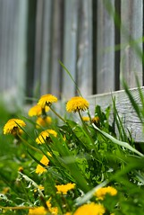 Sunny afternoon (Natasha__M) Tags: green nature grass yellow fence spring olympus dandelions zd 50mmmacro20 e520